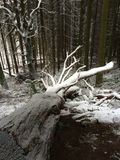 A snowy trunk. Snowy tree trunk in a forest royalty free stock photo