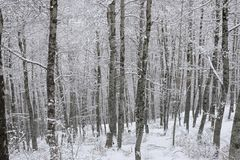 Snowy trunks of the forest. Day Royalty Free Stock Photography
