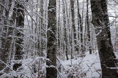 Snowy trunks of the forest. Day Stock Photography