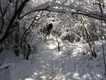 Snowy tunnel of tree branchces Royalty Free Stock Images