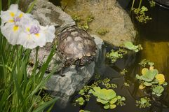 Snowy turtles bask in the sun lying on the stones royalty free stock images