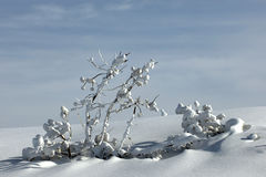 Snowy twigs Royalty Free Stock Images