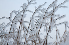 Snowy twigs of bushes Stock Photos