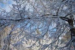 Snowy twigs Stock Image