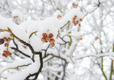 Snowy viburnum berries. The red guelder-rose covered with snow. Winter background Stock Image