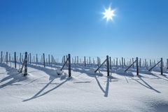 Snowy vineyards under blue sky at sunny day. Royalty Free Stock Image