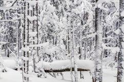 Snowy-Wald Lizenzfreie Stockfotografie