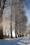 Hoarfrost on birches alley Royalty Free Stock Photography