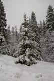 Snowy-Weihnachtsbaum im Wald lizenzfreies stockbild