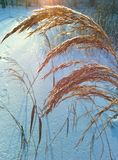 Snowy wheat Stock Photography