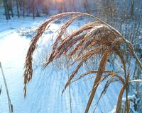 Snowy wheat Stock Photos