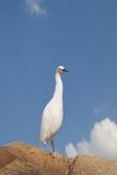 Snowy white egret Royalty Free Stock Photos