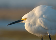 Snowy white egret. White egret at reserve royalty free stock photography