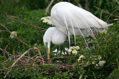 Snowy white Egret. Great snowy white egret or heron tending its nest Royalty Free Stock Photo