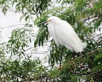 Snowy White Egret Stock Photos