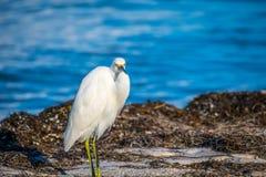 A Snowy White Egret in Anna Maria Island, Florida. A small white Heron bird chilling around the shore of Florida coast of Anna Maria Key stock photos