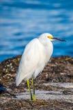 A Snowy White Egret in Anna Maria Island, Florida. A small white Heron bird chilling around the shore of Florida coast of Anna Maria Key royalty free stock image