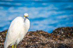 A Snowy White Egret in Anna Maria Island, Florida. A small white Heron bird chilling around the shore of Florida coast of Anna Maria Key stock image