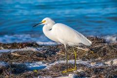 A Snowy White Egret in Anna Maria Island, Florida. A small white Heron bird chilling around the shore of Florida coast of Anna Maria Key royalty free stock photography