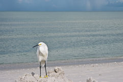 Snowy White Egret on Beach Stock Photo