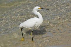 Snowy White Egret Bird Royalty Free Stock Images