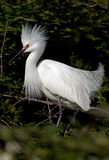 Snowy white egret with breeding headress Royalty Free Stock Photography