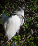 Snowy white egret with fluffy headdress looks right. During breeding season Royalty Free Stock Image
