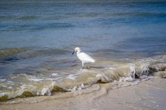 A Snowy White Egret in Fort Myers, Florida stock image