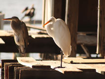 Snowy white Egret. And a heron both perch in the ruins of an old building in Cedar Key, Florida Royalty Free Stock Photos
