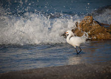 Snowy white egret hunts for food in surf Royalty Free Stock Photography