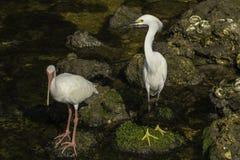 Snowy White Egret i Biały ibis fotografia royalty free