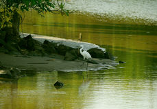 A snowy white egret in a lake. India Stock Image