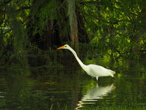 Snowy White Egret Looking for a Meal stock photo
