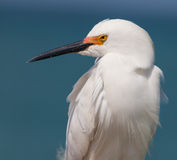 Snowy white egret looks left Stock Photos