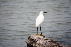 Snowy White Egret on Rock at Gulf of Mexico. A snowy white egret perched on a rock overlooking the ocean Stock Images
