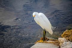 A Snowy White Egret in Sanibel Island, Florida. A portrait shot of a small white Heron bird chilling around the island of Ding Darling National Wildlife Refuge royalty free stock photography