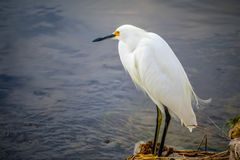 A Snowy White Egret in Sanibel Island, Florida. A portrait shot of a small white Heron bird chilling around the island of Ding Darling National Wildlife Refuge royalty free stock photo