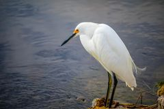 A Snowy White Egret in Sanibel Island, Florida. A portrait shot of a small white Heron bird chilling around the island of Ding Darling National Wildlife Refuge royalty free stock images