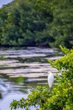 A Snowy White Egret in Sanibel Island, Florida. A portrait shot of a small white Heron bird chilling around the island of Ding Darling National Wildlife Refuge royalty free stock image