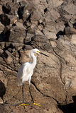 Snowy White Egret Standing on a Rock Stock Photos