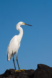 Snowy White Egret Standing on a Rock Royalty Free Stock Photography