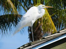 Snowy White Egret standing on a roof royalty free stock image