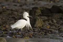 Snowy white egret royalty free stock photos