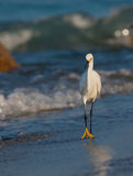 Snowy white egret walks on shoreline Stock Images