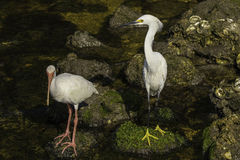 Snowy White Egret and White Ibis Royalty Free Stock Photography