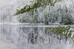Snowy white evergreen branch nature scene background. Stock Photos