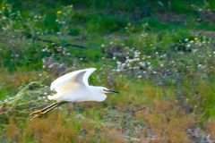 Snowy, white heron flying over a river in the early afternoon stock photography