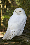 A snowy white owl. Snowy white owl in the wildlife Royalty Free Stock Photography