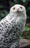 Snowy white owl Stock Images