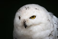 Snowy white owl closeup portrait stock photography